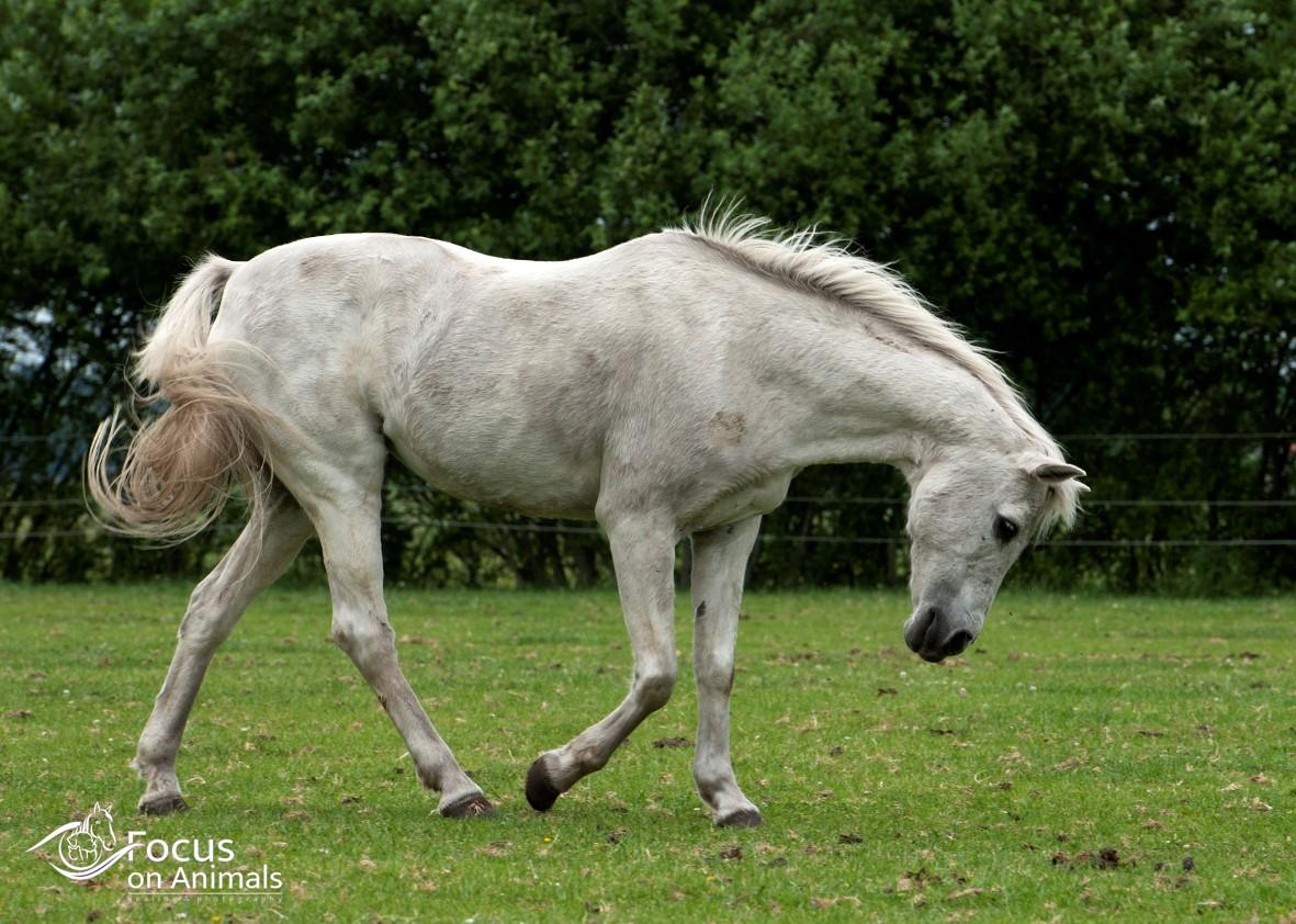 Oude manegepaarden