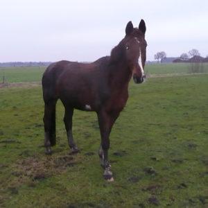 Goudvos van Manege de groene Heuvel in Velsen Zuid. Opgenomen bij Stichting Het Olde Manege Peerd. Paardenrusthuis
