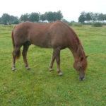 Jerome manegepaard van de capelse manege in Capelle a/d ijssel geniet nu van zijn fijne oude dag en pensioen