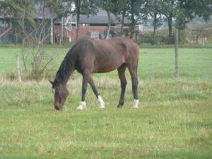 Jes manegepaard vanHCB manege Barendrecht nu in het paarden rusthuis Olde Manegepeerd