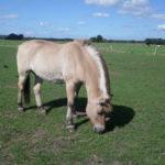 JohnnyWalker van manege Vario Hippique opgevangen bij manegepaarden rusthuis olde manegepeerd in dalmsholte