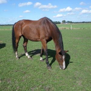 Newton van VarioHippique geniet van zijn oude dag op Manegepeerd het rusthuis voor uitgewerkte manegepaarden