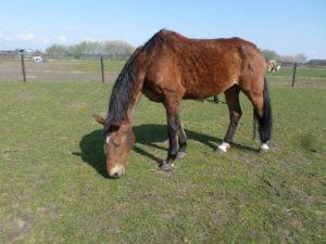 Indy manegepaard bij Stichting 't Olde Manegepeerd
