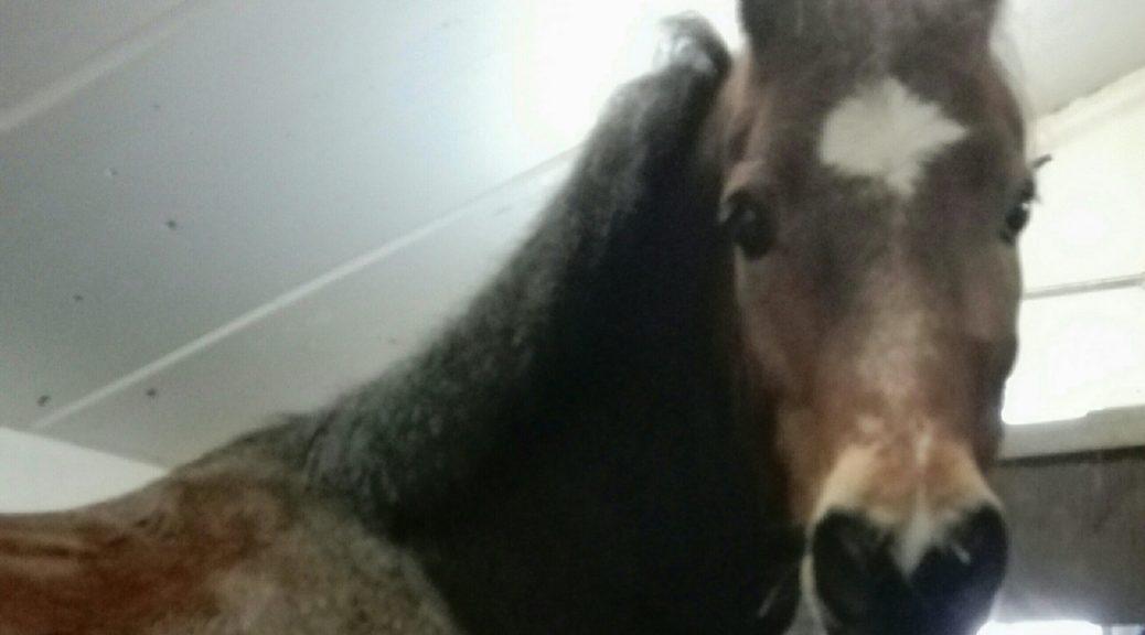 Sjimmie manegepaard van manege de baarshoeve in zantvoort paardenrusthuis