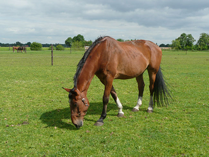 Kadar van de Capelse Manege geniet van zijn oude dag bij Olde Manegepeerd paarden pensioen