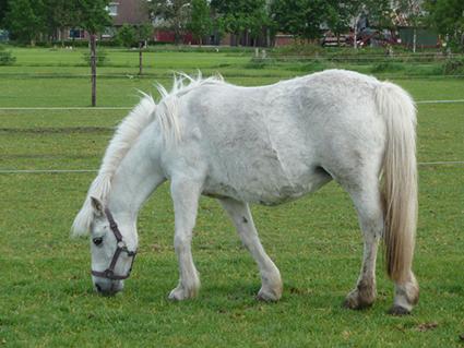 Truffel van Manege Ponyclub `t Landje te Amsterdam nu bij paardenpensioen